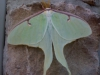 Lunar Moth outside of a Dunkin' Dounuts